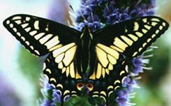 Anise Swallowtail on Echium. © Sheri Moreau